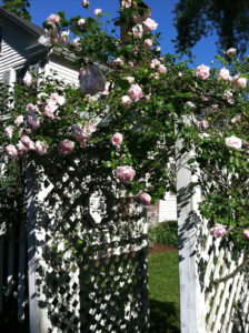 pink roses growing on trellis trout lily garden design westchester county ny