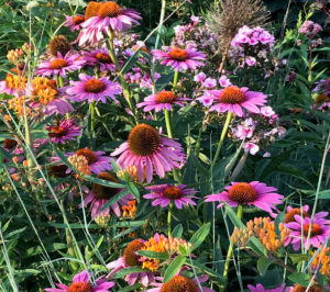 pink daisies with orange flowering plants trout lily garden design old greenwich ct