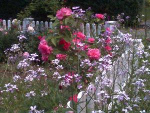 pink rose bush by fence trout lily garden design pound ridge ny