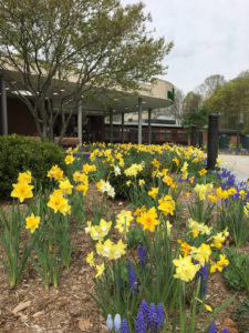 garden with daffodils in front of a school trout lily garden design chappaqua ny