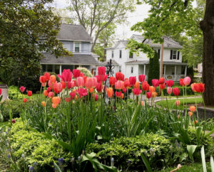 red and pink spring tulips trout lily garden design old greenwich ct