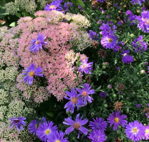 purple daisies with pink and white hydrangeas trout lily garden design old salem ny