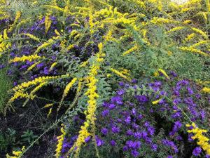pollinator garden purple and yellow bushes trout lily garden design katonah ny