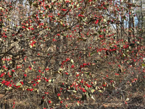 autumn red berries on shrub trout lily garden design chappaqua ny