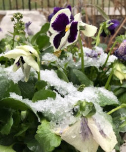 ice on purple and yellow pansies trout lily garden design chappaqua ny