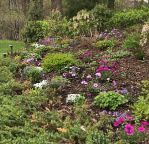purple pink and white flowers on a hillside tiered public garden trout lily garden design chappaqua westchester ny
