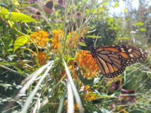 butterfly on pollinator plant lynn becker trout lily garden design katonah ny