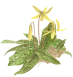 trout lily logo trout lily garden design bedford ny